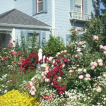 Home Garden Tour-English Rose Garden www.shakeandgrow.com